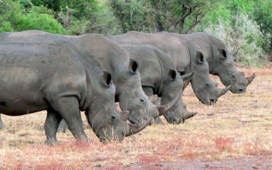 potd-rhinos_3310845k